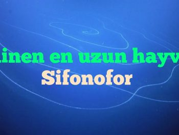 Bilinen en uzun hayvan Sifonofor